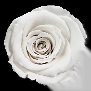Snow Rose   Millionbox.se