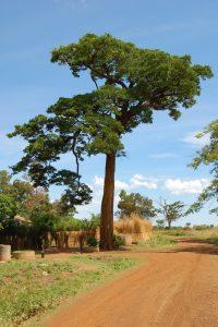 Pod Mohagany Tree