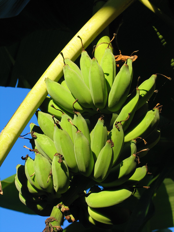 Bananas in Mpongwe Photo Copyright Kathleen Paulsson