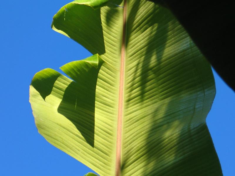 Banana leaf Photo Copyright Kathleen Paulsson
