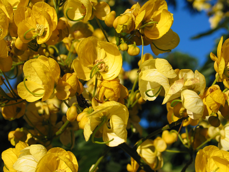 Yellow flowers on large blooming tree  - Photo Copyright Kathleen Paulsson