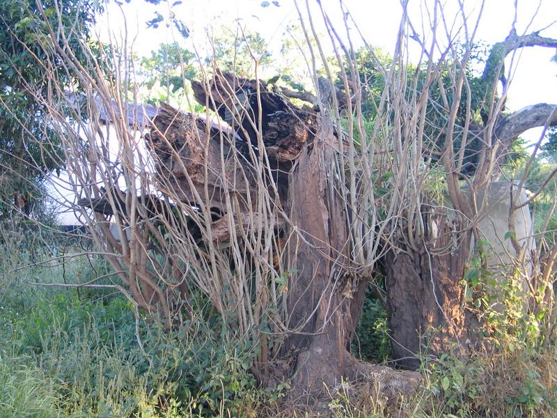Mahogany Tree fell - photo April 2009