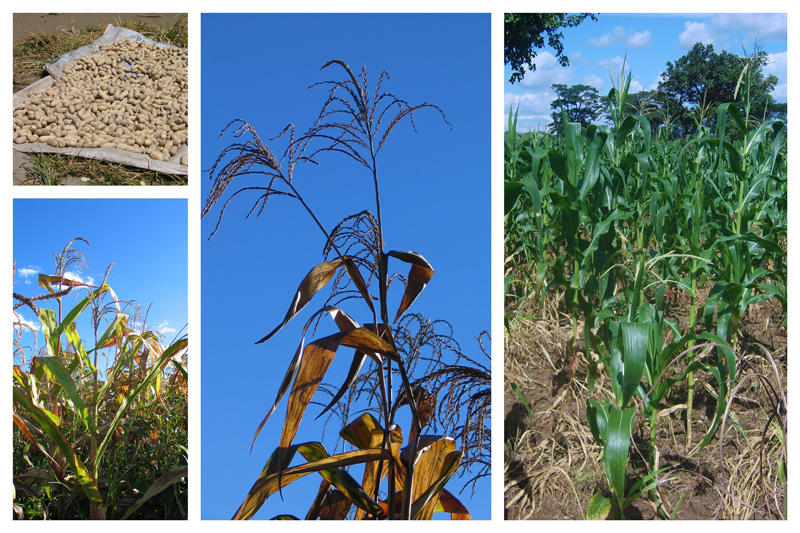 Main crops Maize and ground nuts