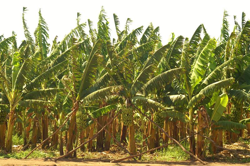 Banana plantation Copperbelt Zambia