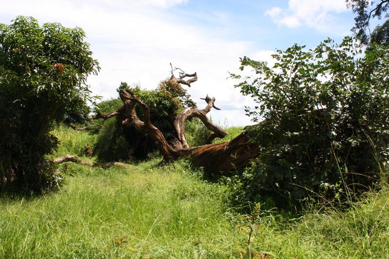 Mahogany tree fell in 2007. Photo taken in 2008