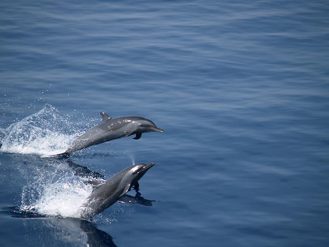 Delfinerne leger på siden af skibet.