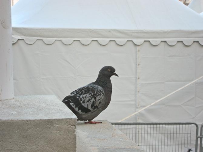 Og en due