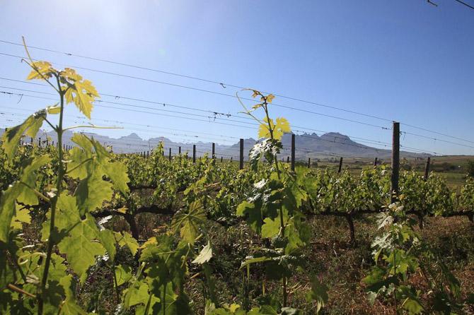 En vinmark i Sydafrika - en Spier vinmark i øvrigt