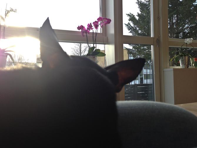 Sol gennem de tynde ører
