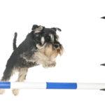Kurset er avlyst for å hindre koronaspredning! Nybegynnerkurs i agility helgen 20. – 22. mars