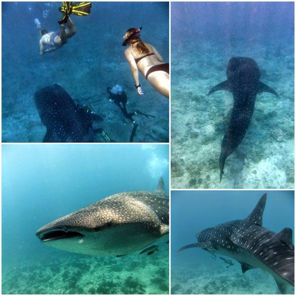 """Reiser du til Maldivene primært for å dykke, anbefaler jeg at du holder deg unna de fancy resortene og heller booker deg en ukes tur på en """"live-aboard båt"""". Det er ikke så dyrt som det høres ut som, og dykkingen er helt eksepsjonell!! Før du tar turen, anbefaler jeg at du har en del dykk på baken, spesieltnoe erfaring med dypdykk og dykk under sterk strøm."""