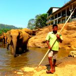 Pinnawala elefant barnehjem Sri Lanka