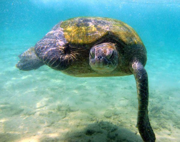 Skilpadder snorkling dykking Hikkaduwa