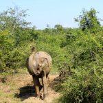 Elefant Udawalawe Safari Sri Lanka