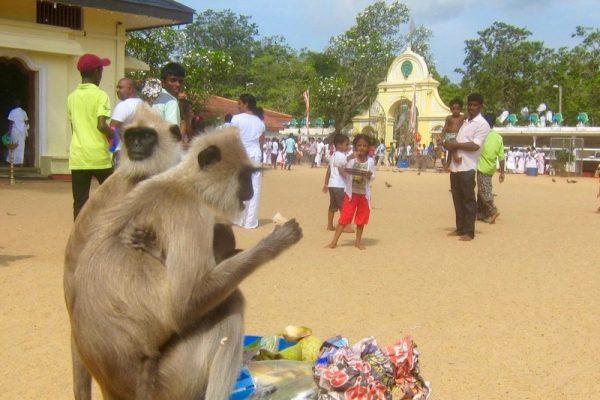 Reise til Sri Lanka med barn ape tempel