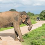 Stor sjanse for å se mange elefanter på Safari i Udawalawe nasjonalpark