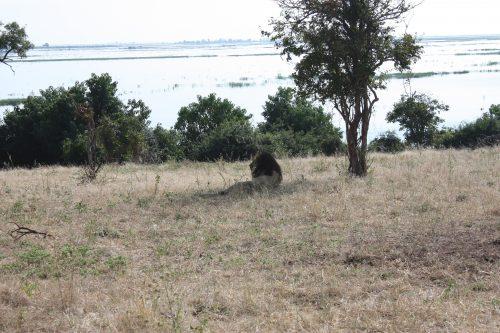 Löwe Chobe Botswana