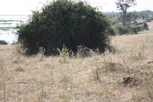 Vier Löwinnen im Schatten eines Busches
