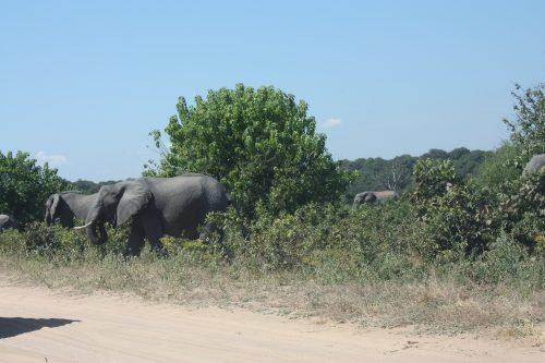 Elefanten Wegesrand Chobe