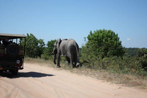 Elefanten neben Auto Wegesrand Chobe