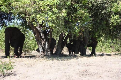 Elefantenfamilie unterm Baum Chobe