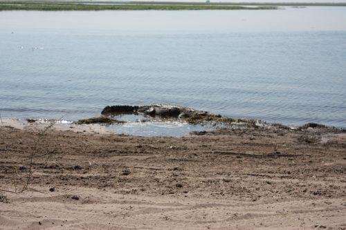 Krokodil Chobe