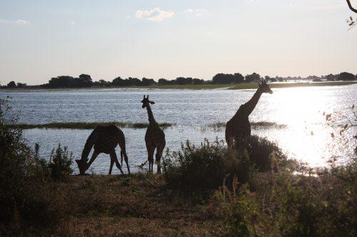 Giraffen in der Abenddämmerung beim Trinken im Chobe-River