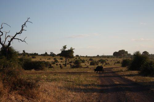 Wasserbüffel in der Abenddämmerung Chobe