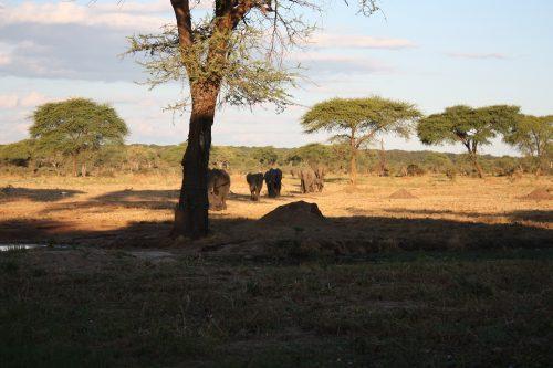 Herde Elefanten läuft auf die Wasserstelle zu