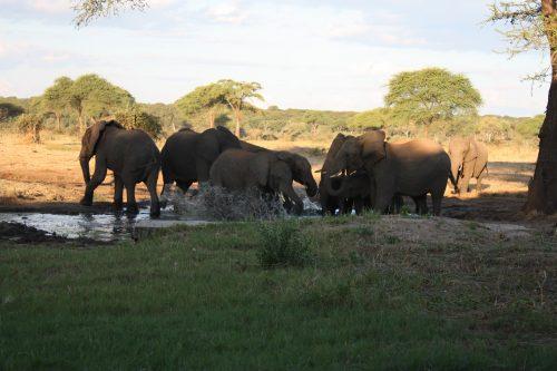 Elefantenherde spielt im Wasserloch