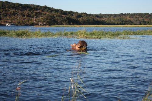 Flusshippo frisst Chobe-River Okavango-Delta Botswana
