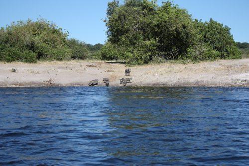 Warzenschweine Chobe-River Okavango-Delta Botswana