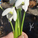 vintergække buket, Garden of York
