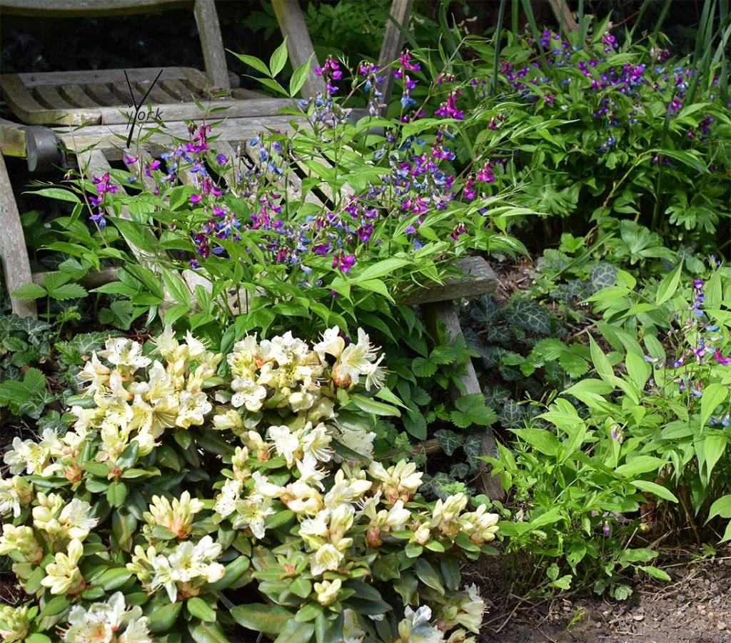 Rododendron og vorfladbælg