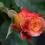 Kordes-Aloha rose