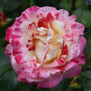 Rose camille-pissaro