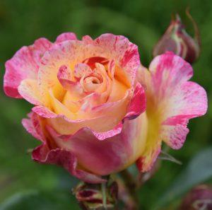 Rose camille_pissaro