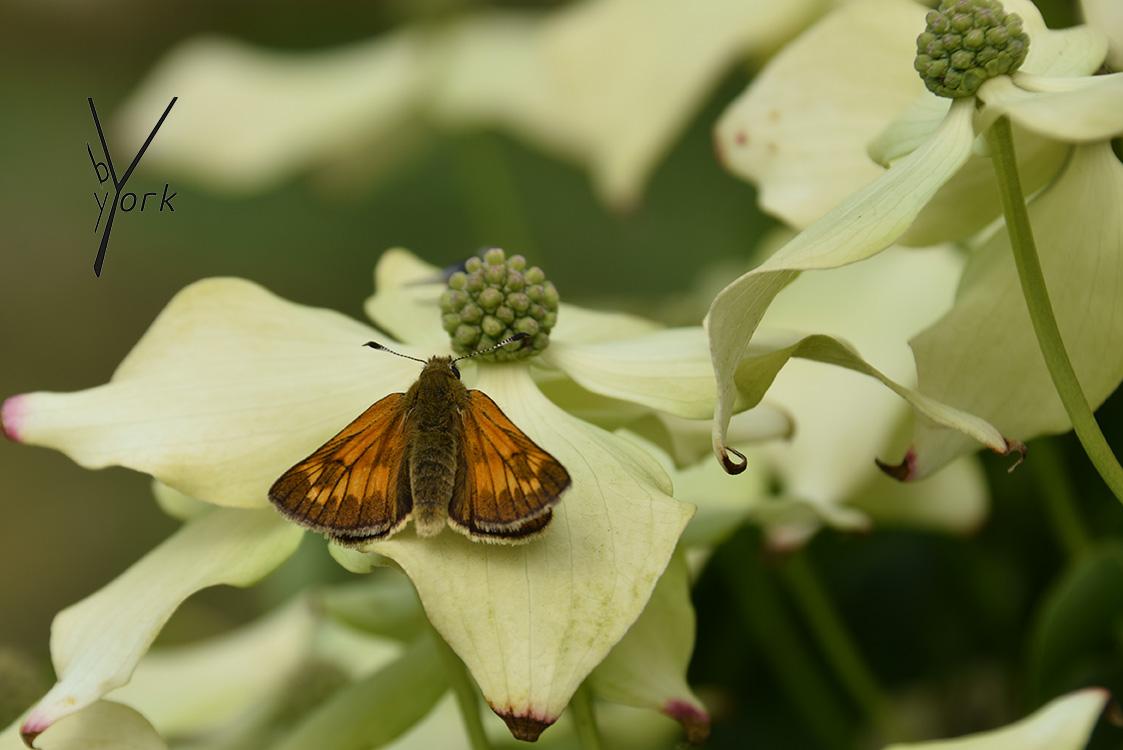 Sommerfugl på Kornus Kousa