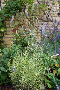 broget bladet lavendel i garden of york