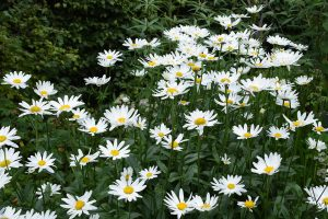 hvid marguirit Garden of York