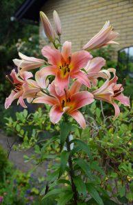 kæmpe duft lilje i garden of york