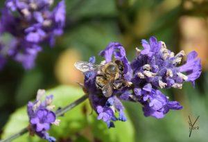 lavendel med bi
