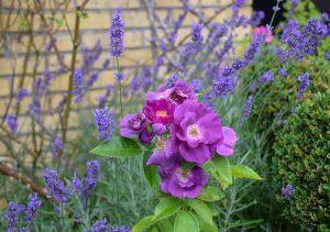 lavendel i garden of york