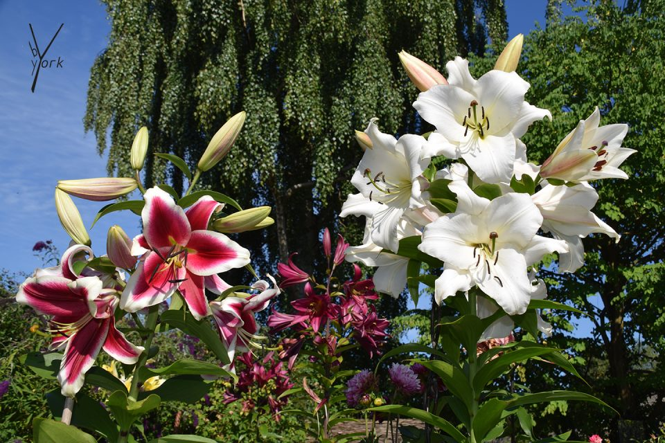 duftende kæmpeliljer Garden of York
