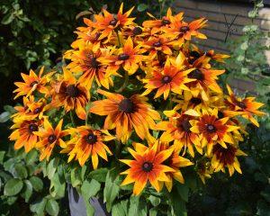 rudbeckia hos garden of york