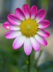 pink hvid dahlia, garden of york
