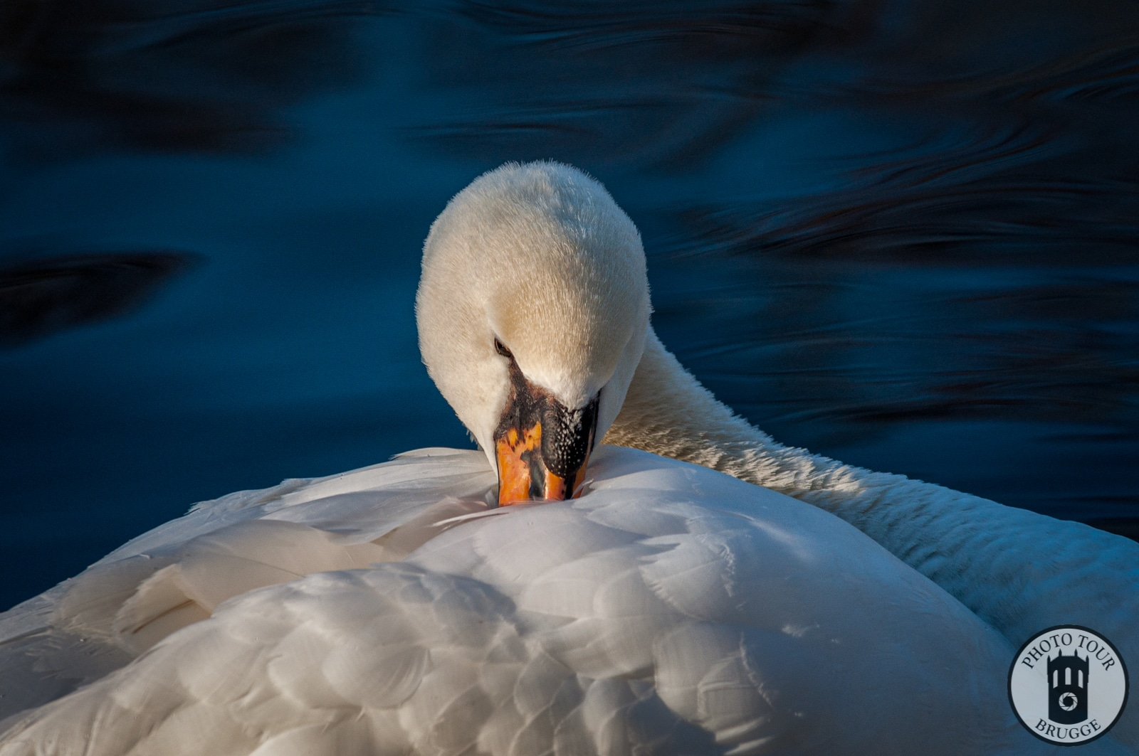 A swan cleans on a blue-watered day in a canal, Bruges Belgium. Photo by Photo Tour Brugge