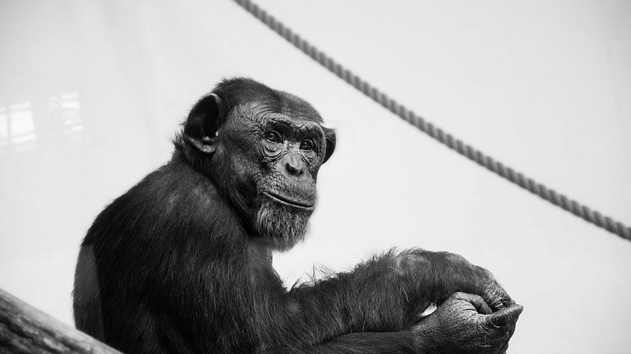 De dansende aap