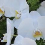 Rouwstuk-Nr13-witte-phalaenopsis3