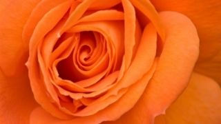 Orange rose hara chakra